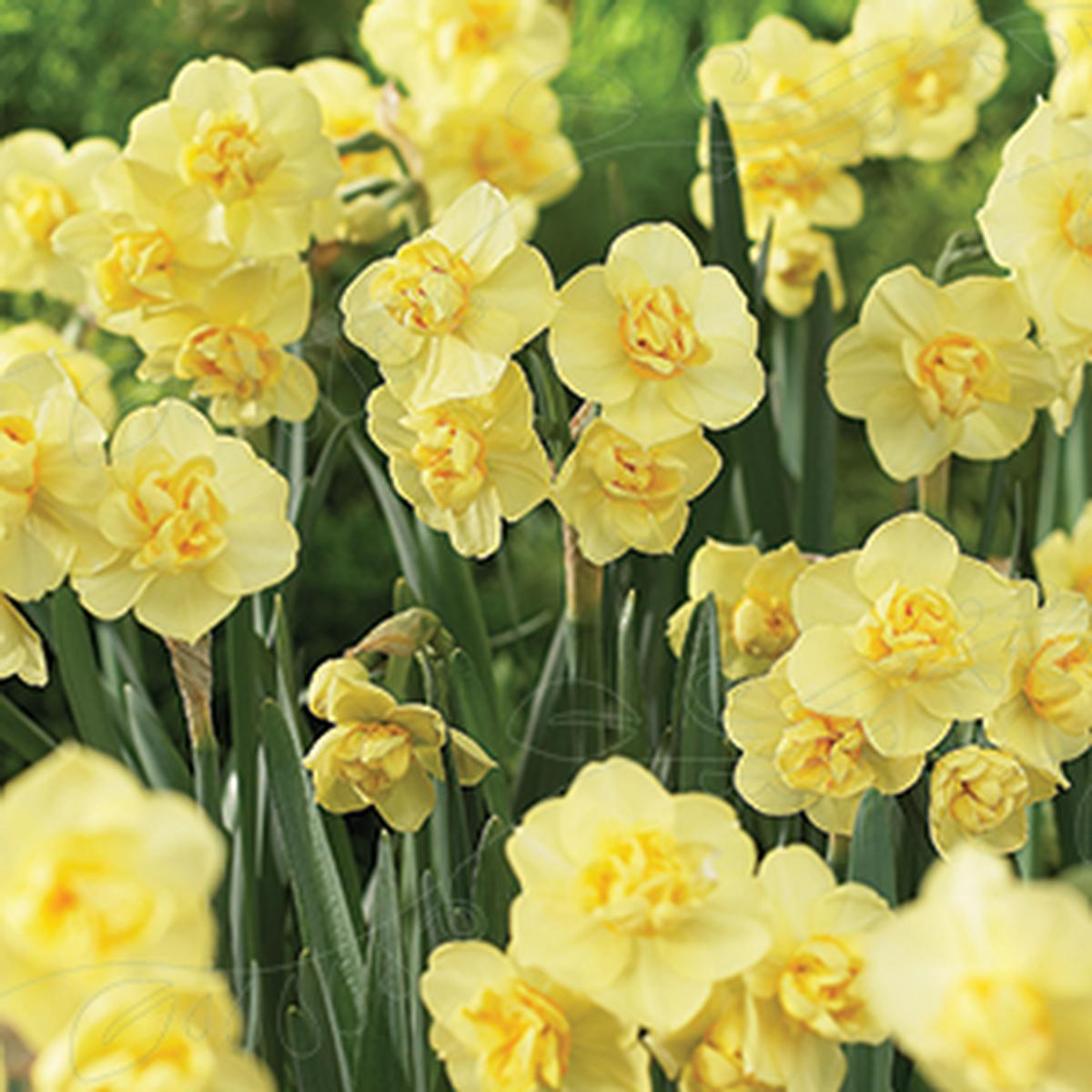 Bukketnarsiss 'Yellow Cheerfullness'