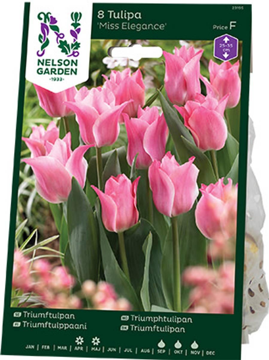 Tulipan, Triumph 'Miss Elegance'
